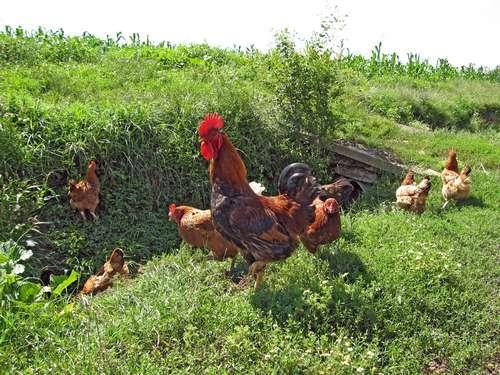 coq_et_poules